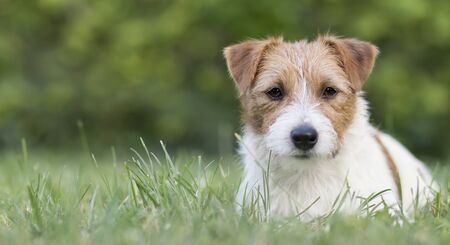 Dog pet recreation, web banner of a cute jack russell puppy as lying in the grass 版權商用圖片