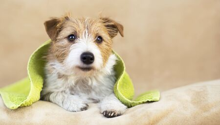 Pet grooming concept, furry smiling happy jack russell dog with towel after bath, shower