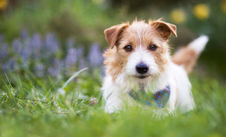 Adorable cute smiling small jack russell terrier pet dog puppy looking in the grass. Web banner with copy space.