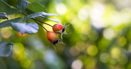 Web banner, fall bokeh background of red rose-hips in autumn