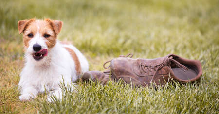 Naughty cute happy jack russell terrier pet dog puppy lying in the grass with chewed shoes and and licking his mouth. Web banner.