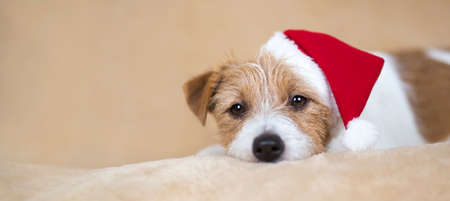 Christmas holiday happy cute jack russell terrier santa pet dog puppy looking on beige background. Web banner.