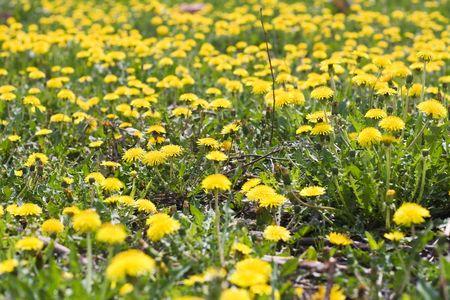 herbage: Dandelion background