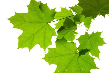 Leaves isolated on white background, maple leaf photo
