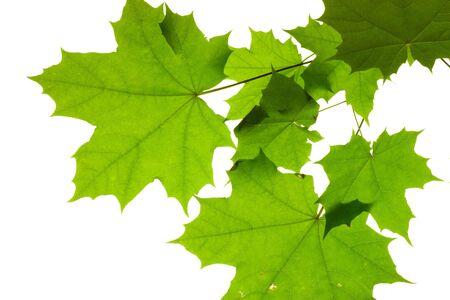 Leaves isolated on white background, maple leaf Stock Photo - 3258353
