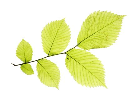 Leaves isolated on white background photo