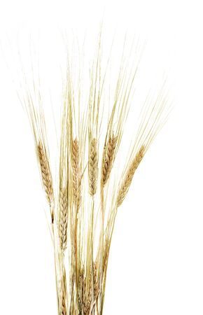 fascicle: wheat