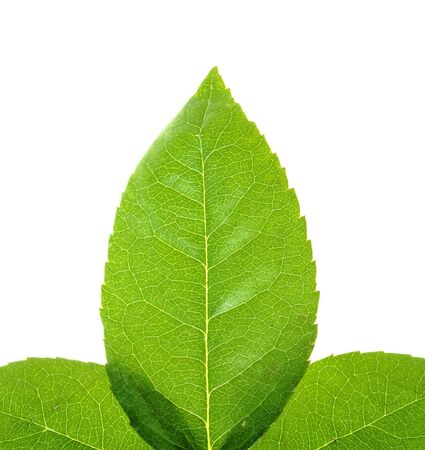 Leaves isolated on white background  Stock Photo - 4055440