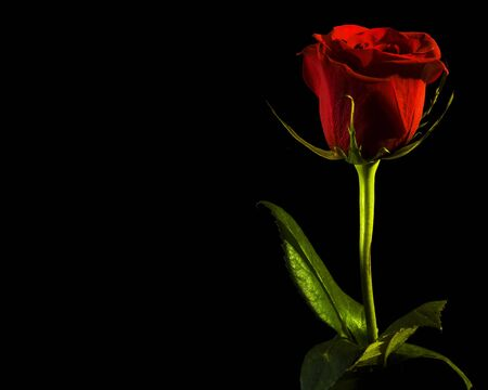 rosas negras: Rose