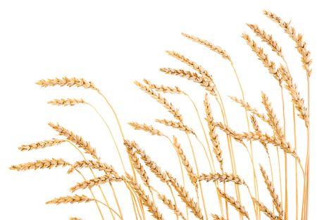 espigas: El trigo de oro aisladas sobre un fondo blanco.