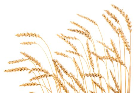 the spikes: Golden wheat isolated on a white background. Stock Photo