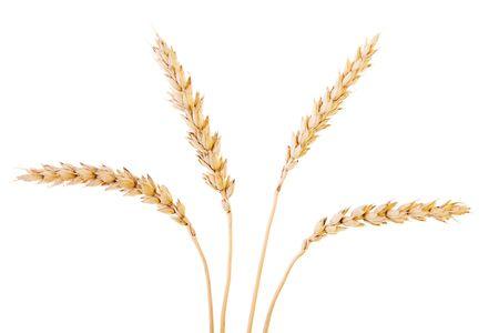 corn flour: Golden wheat isolated on a white background. Stock Photo