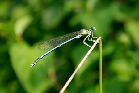 Blue dragonfly on green background. Stock Photo - 5270069