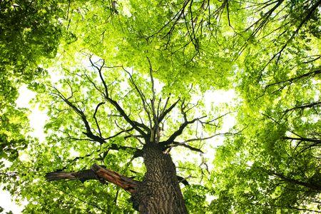 backlit: Voorjaar boom bladeren achtergrond.