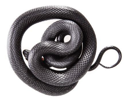 slithering: Snake isolated on white background.