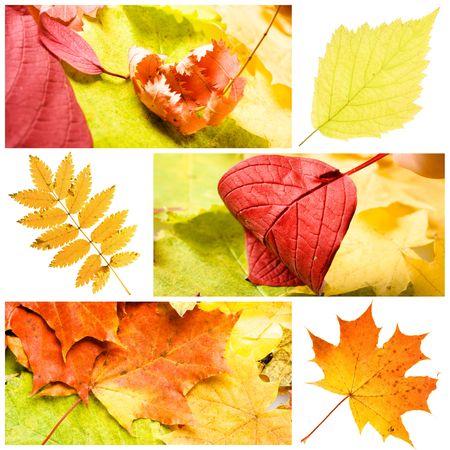 collage of vaus autumn leaves Stock Photo - 5284049