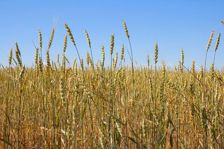 Wheat before harvest (yield's field). Stock Photo - 5318207