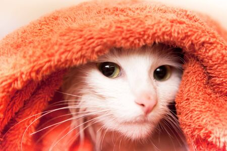 white cat wraped up in a towel photo