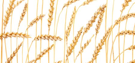 Golden wheat isolated on a white background. Stock Photo - 5373690