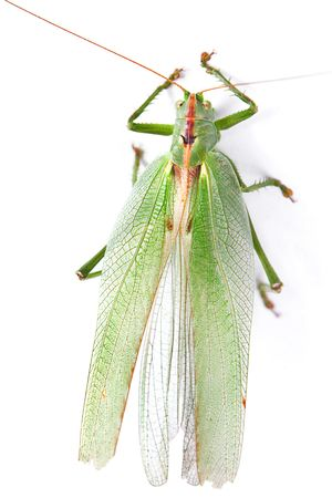 Locust isolated on white background. photo