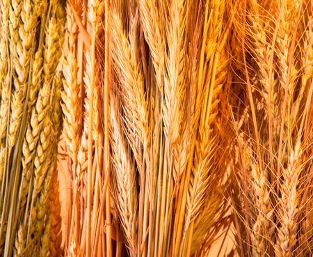 Golden wheat background Stock Photo - 5375394