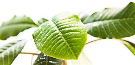 leaves isolated on white background Stock Photo - 5388791