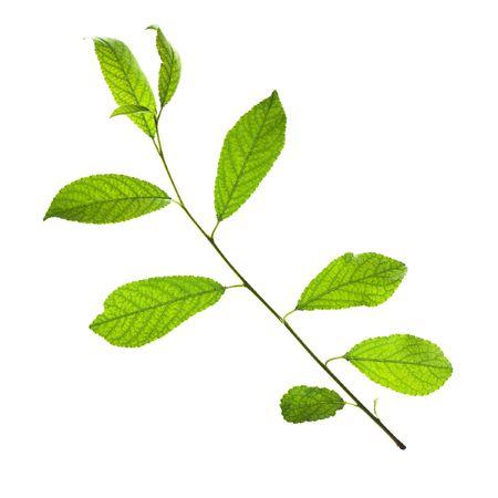 leaves isolated on white background Stock Photo - 5389045