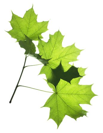 leaves isolated on white background Stock Photo - 5388870