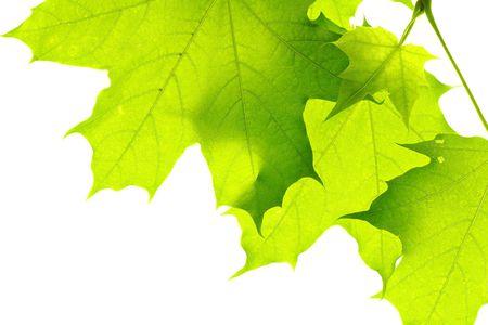 leaves isolated on white background Stock Photo - 5389033