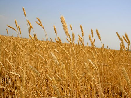 Wheat before harvest (yields field). photo