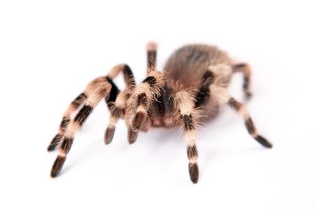 hairy legs: beautiful spider isolated on white background