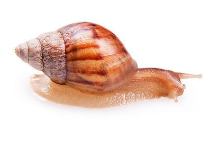 grape snail: Snail isolated on a white background.