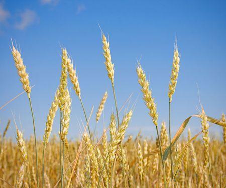 Wheat before harvest (yields field).