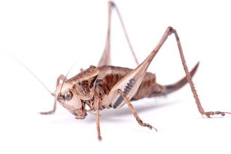 Cricket Beetle geïsoleerd op een witte achtergrond.