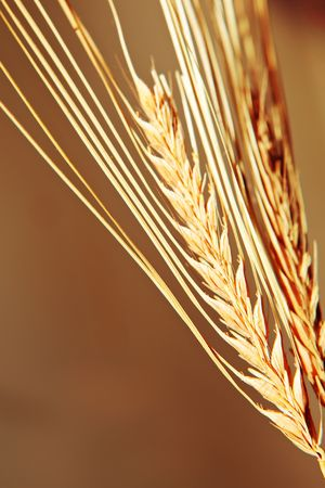 Golden wheat close up background. Stock Photo - 6034952