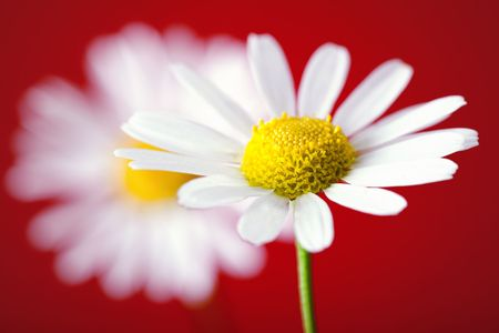 View of chamomile on red background. photo