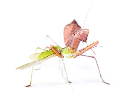 Mantis eats locust, isolated on white background. photo