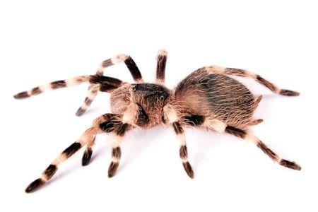 Spider isolated on white background. Stock Photo - 6034102