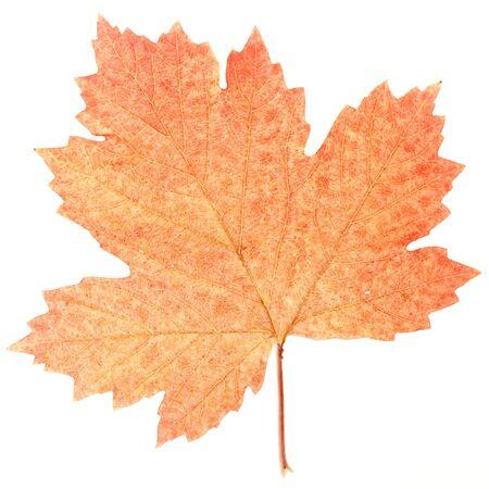 otoño deja aislada sobre fondo blanco  Foto de archivo - 6034956