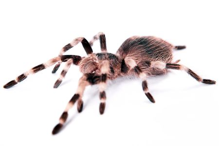 beautiful spider isolated on white background photo