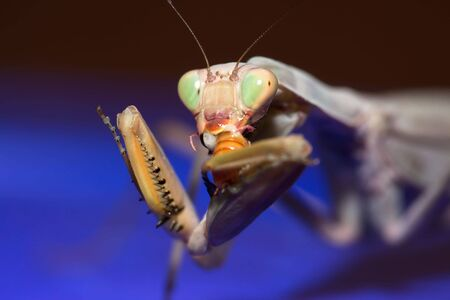 psychedelic mantis eating on blue Stock Photo - 6252432