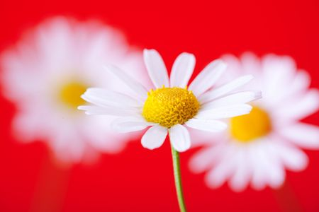 bloomy: white with yellow camomiles on red Stock Photo