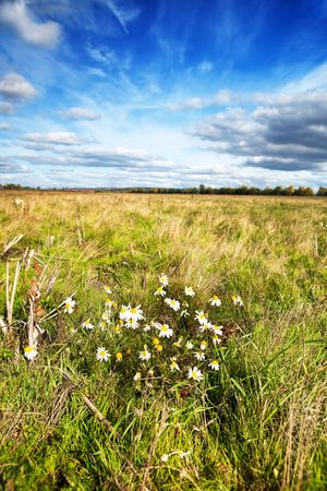 field of daisies and blue sky photo