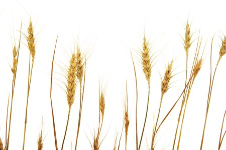 Golden wheat isolated on a white background. Stock Photo - 6491902