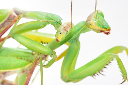 love, mantises  photo