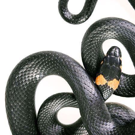 Snake isolated on white background. photo