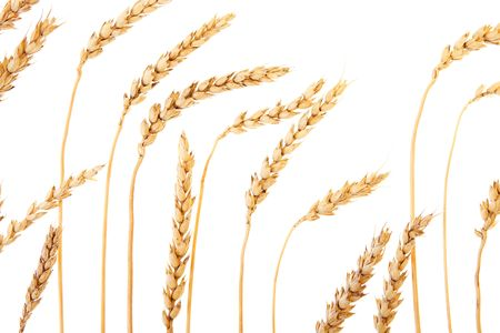 Golden wheat isolated on a white background. Stock Photo - 6639431