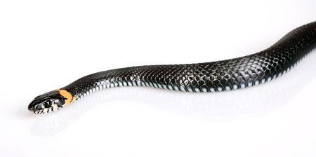 sliding scale: Snake isolated on white background.