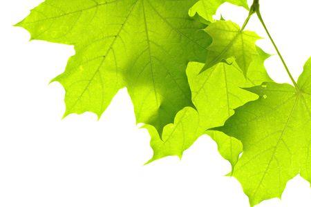 leaves isolated on white background Stock Photo - 6780419