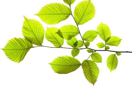leaves isolated on white background Stock Photo - 6780404